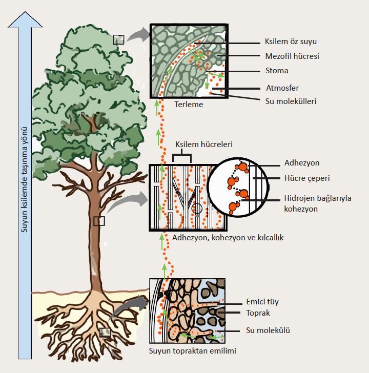 Bir ağaçta suyun taşınma mekanizması