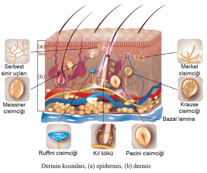 Derinin kısımları, (a) epidermis, (b) dermis