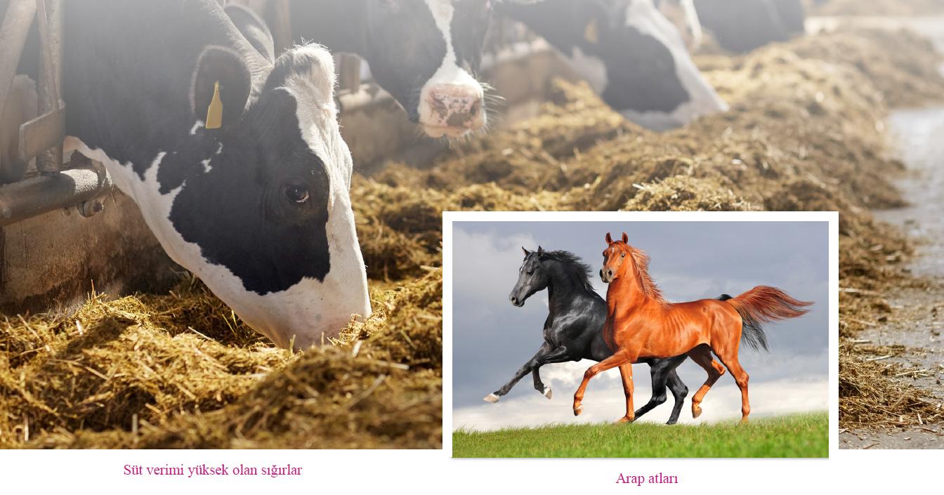 Süt verimi yüksek olan sığırlar - Arap atları