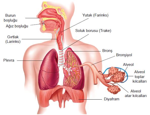 Solunum Sistemi Organları ve Görevleri Nelerdir? - Bilgi Al